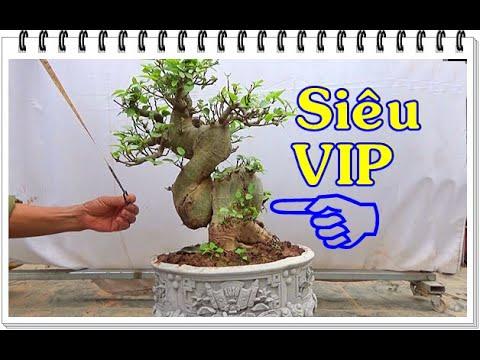 Bonsai SUNG SIÊU VIP, đẳng cấp, đón tết ĐT: 0337496058, ngày 16/1