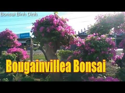 Bougainvillea Bonsai, Hoa Giấy Trong Chậu Cực Đẹp - Bonsai Binh Dinh