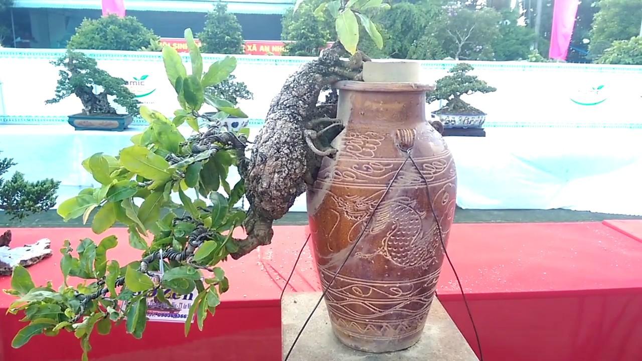 Cây Mai có một không hai, quá độc-Bonsai Binh Dinh