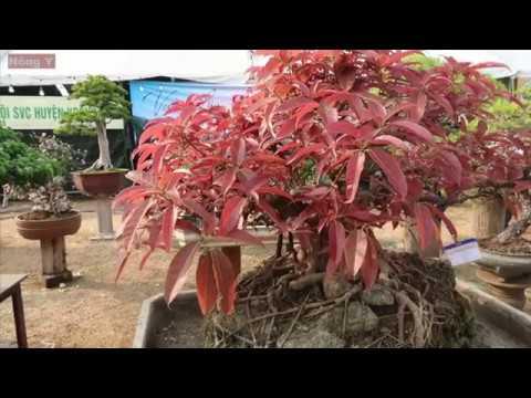 Cây bonsai lá đỏ hút mắt người xem