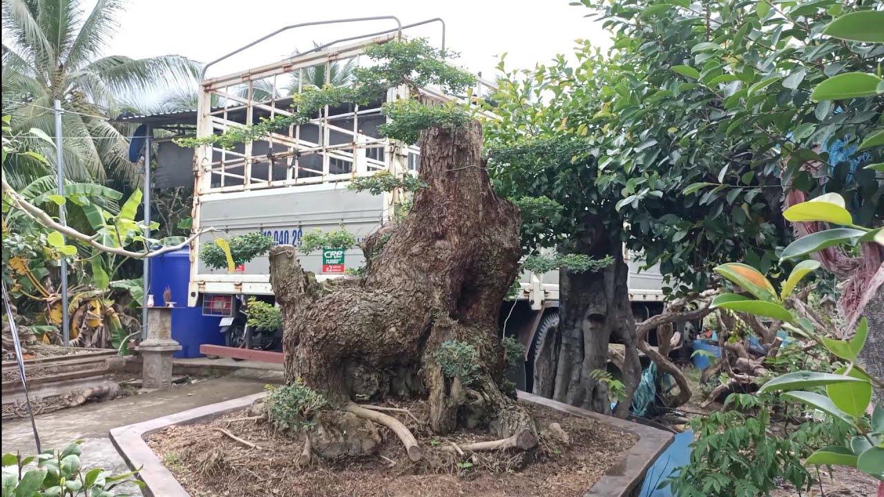 Cây keo - Phôi bonsai độc lạ trong vườn cây phôi của anh Thảo.