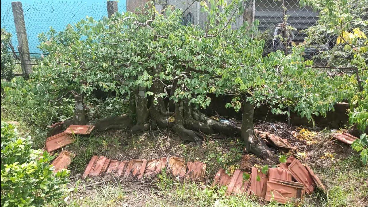 Cây khế - cụm rừng khế này hứa hẹn sẽ là một tác phẩm đẹp .