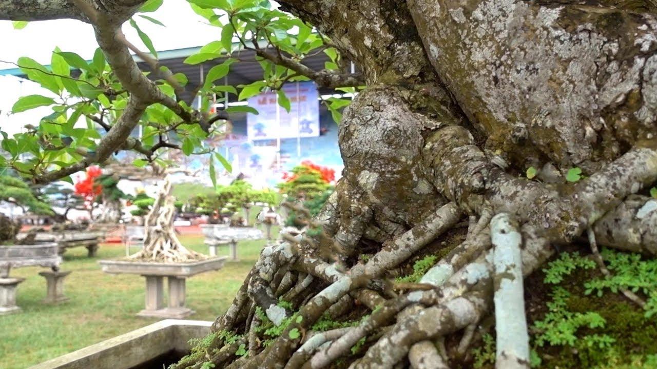 Cây quý hiếm chủ báo giá 3 tỷ. precious and rare bonsai