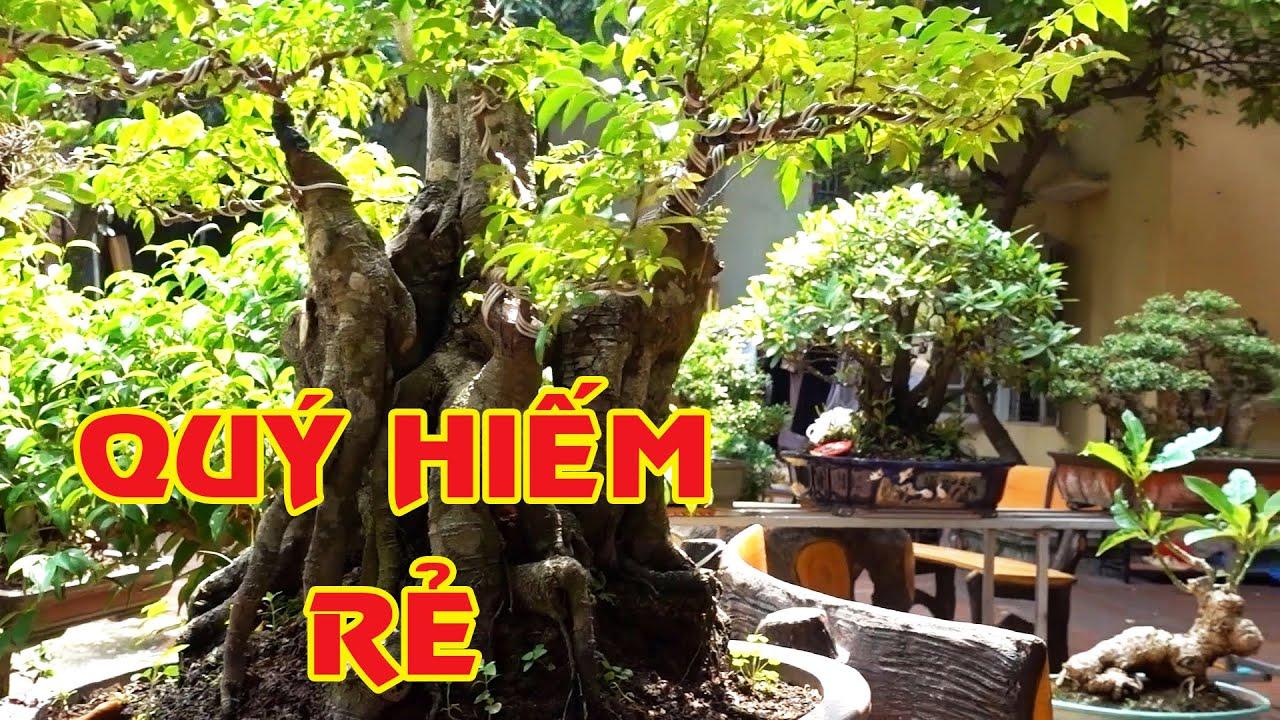 Chỉ vài trăm nghìn tới vài triệu là có cây cực kỳ đẹp và quý - selling beautiful bonsai trees