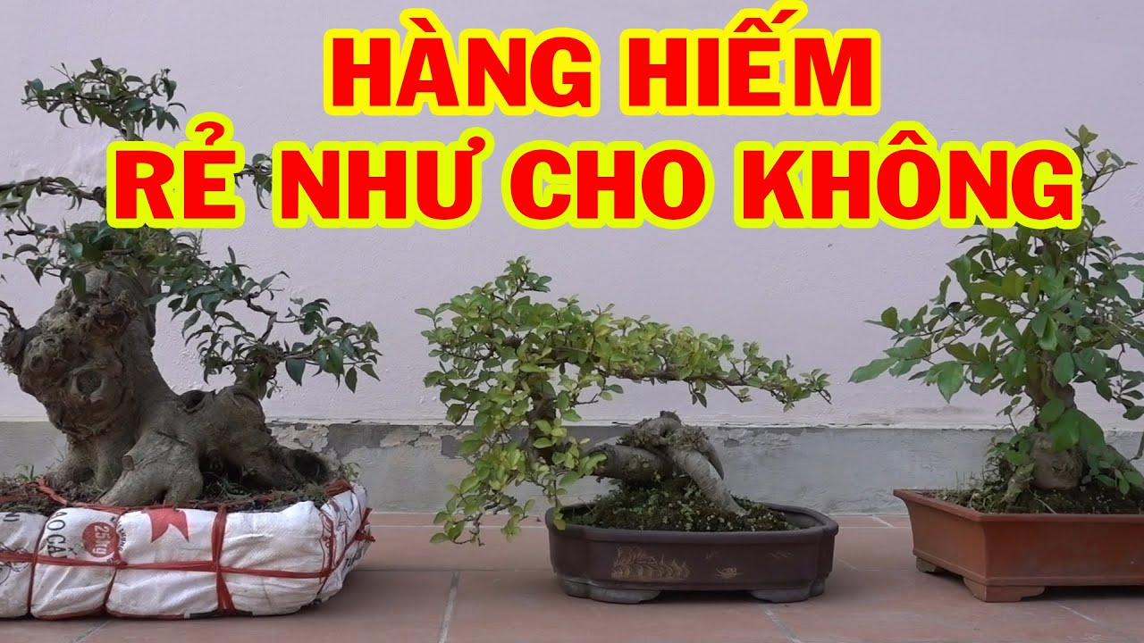 Chưa gặp ai bán cây rẻ như vậy, sanh lộc vừng giá rẻ - bonsai trees is cheap