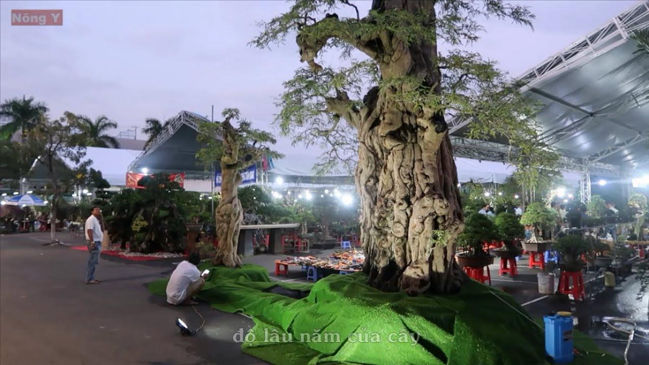 Có lẽ đây là cây me to nhất Việt Nam