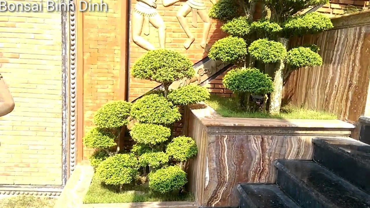 Cụm mai chiếu thủy tinh ghép đẹp - Bonsai Binh Dinh