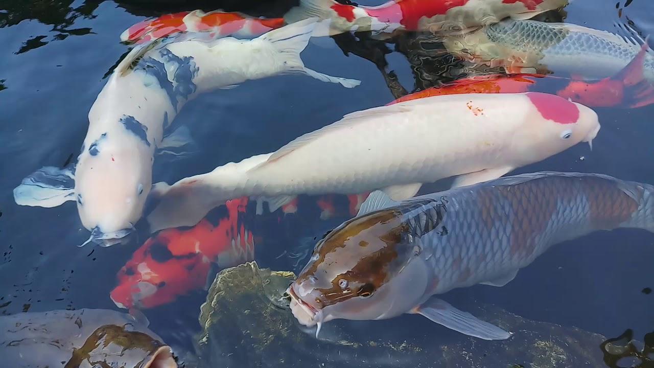 Đại gia bo 2tỷ cho sân chơi  cá koi