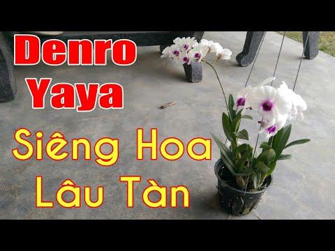 Denro Yaya mặt bông trắng đẹp, loại lan siêng hoa lâu tàn