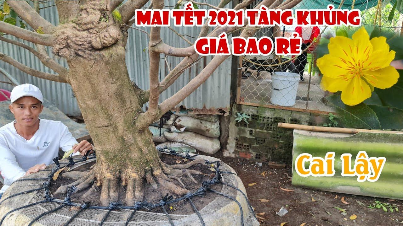 GỐC MAI ĐẾ NGUYÊN KHỐI ĐẶC giá siêu mềm 0965378787 chơi tết 2021 ở Cai Lậy