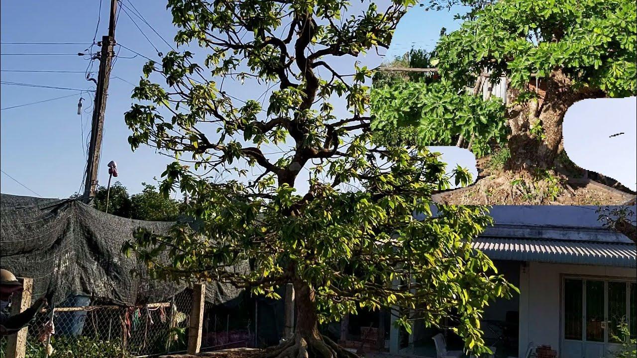Giao lưu cây Mai xù  cổ  một cốt đế đẹp giá 400tr và cây Lộc vừng của anh thành tại Bến Tre.