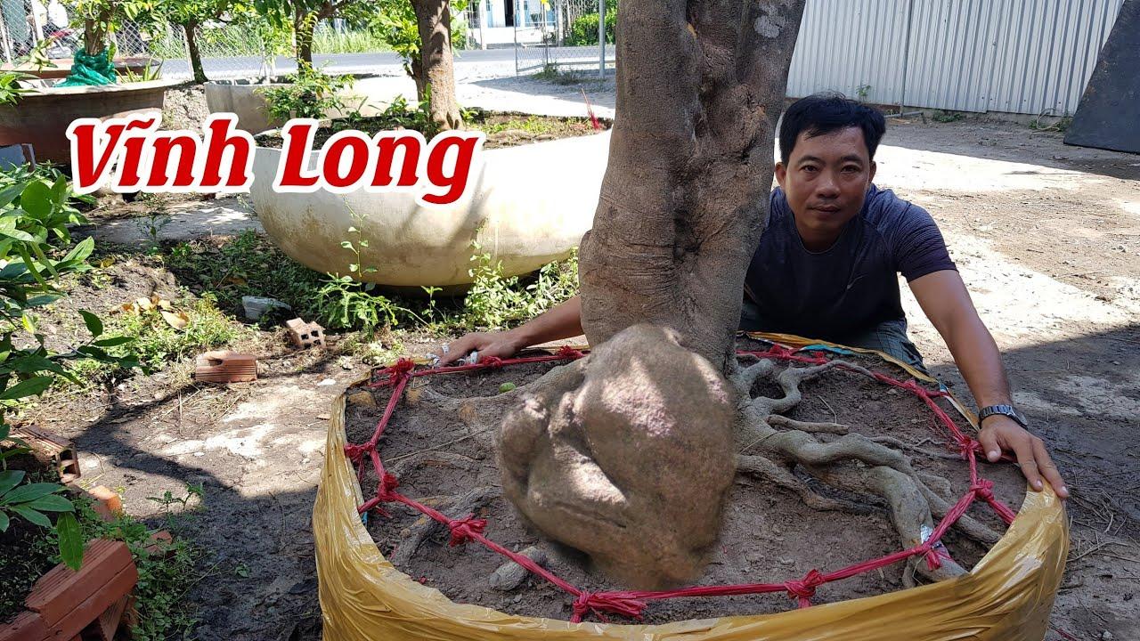 Gốc mai đế đẹp tàng đều bông 12 cánh của anh Hùng Vũng Liêm 0933441318