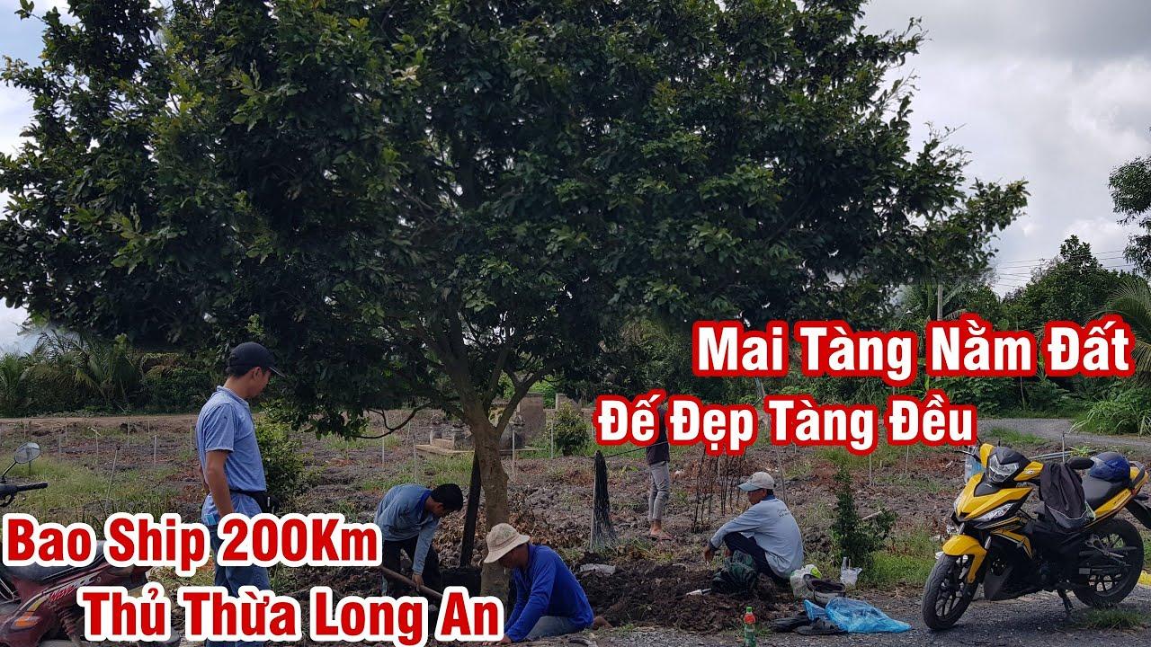 Gốc mai tàng nằm đất nguyên thủy của anh Đông Thủ Thừa Long An 0986117557