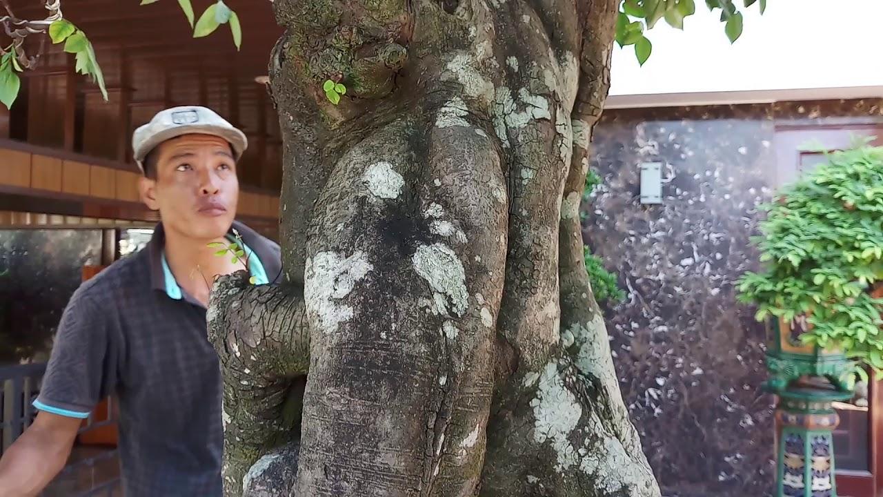 HV 232.phúc ngô cắt sửa hoàn thiện vườn bonsai đẹp