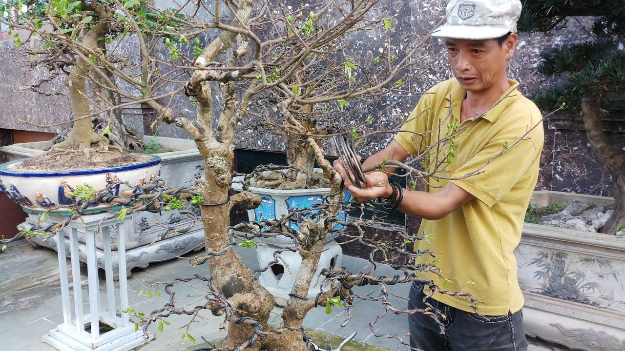 HV 315.phúc ngô làm bonsai dáng phu thê cực đẹp