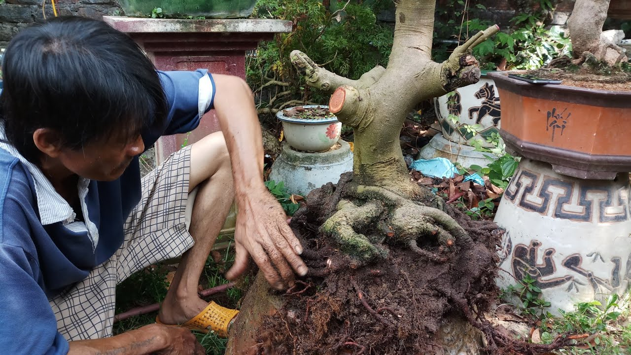 HV 380.cắt bỏ xử lý rễ thừa cho cây mai vừa phôm chậu mini