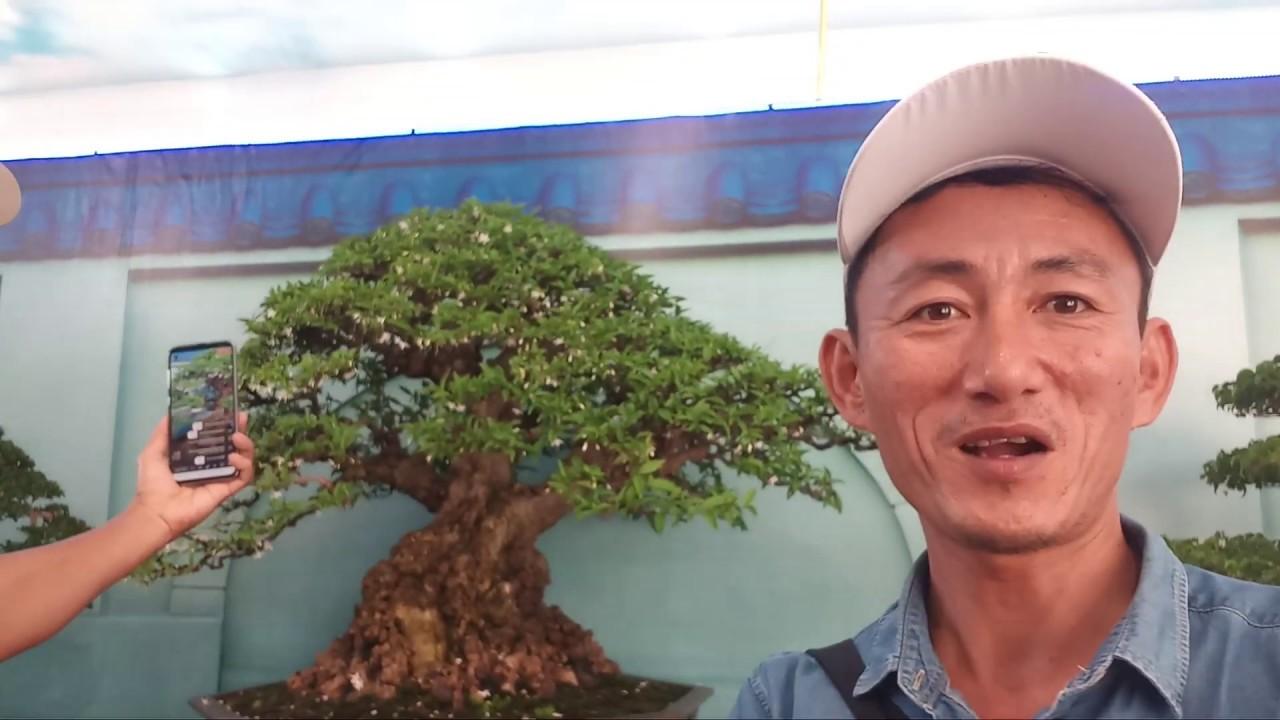 HV 488.lạc vào mê hồn trận bonsai châu á thái bình dương