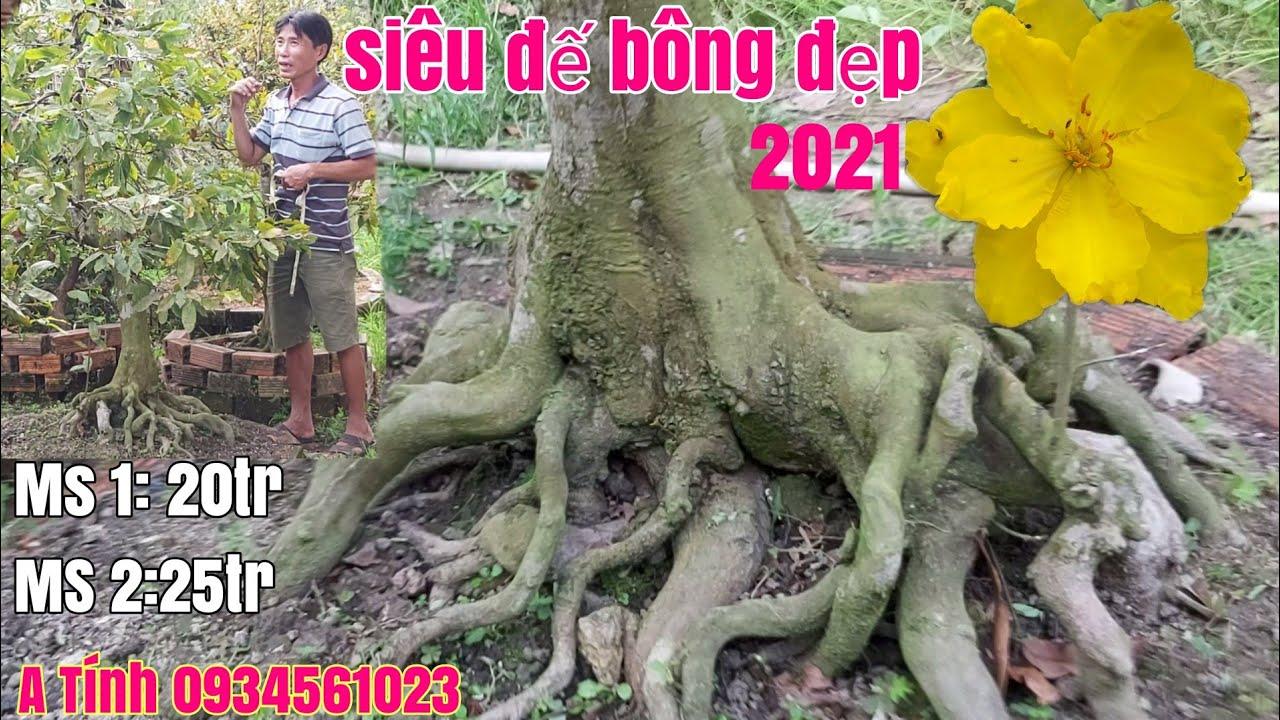 Hai cây Mai siêu đế đẹp hàng đón xuân 2021 giá hữu nghị gặp A Tính 0934561023