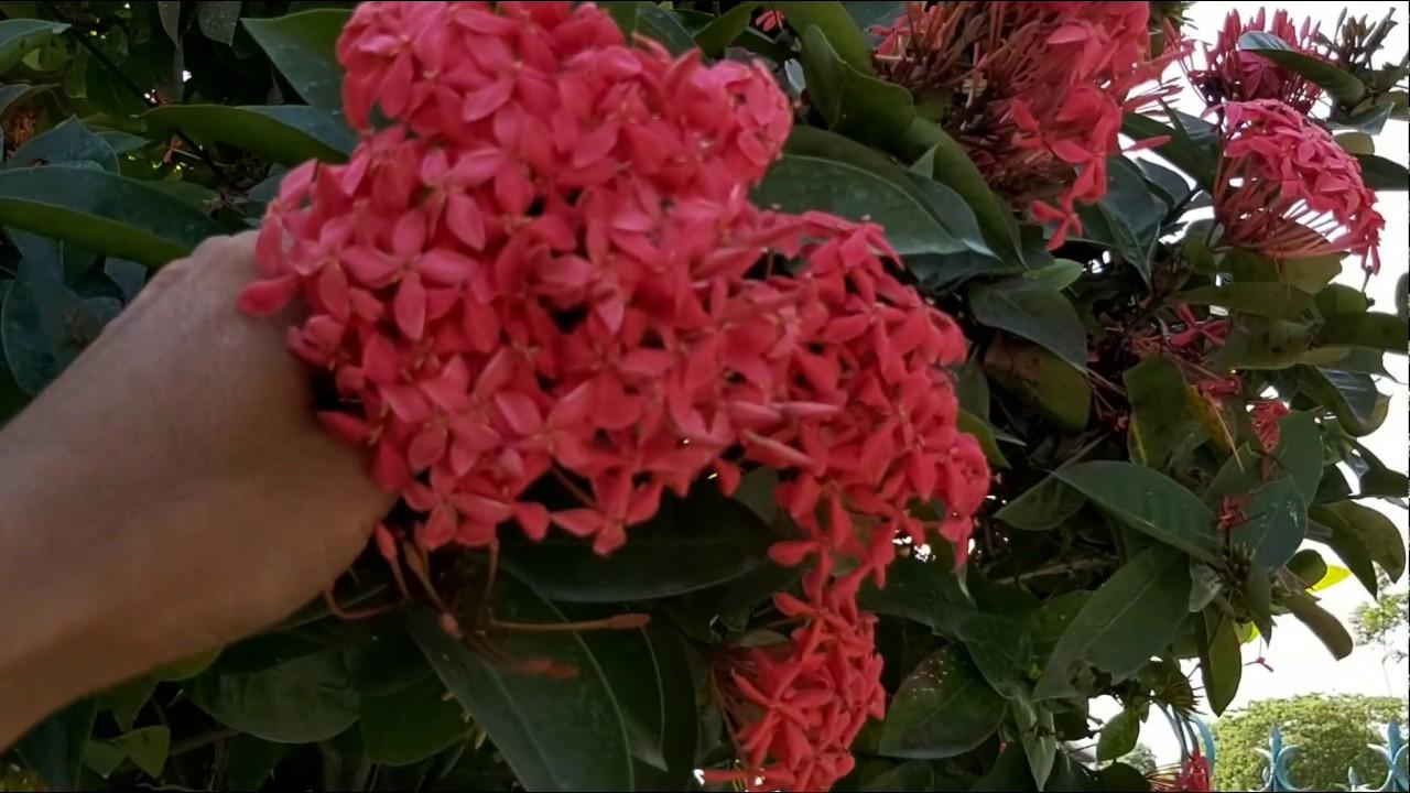 Hai cây hoa mẫu đơn giá 50 triệu độc lạ lh: chú tư 0914930828.