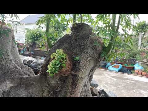 Hoa gạo - Phôi cây Hoa gạo độc lạ trong vườn cây phôi anh Thảo.