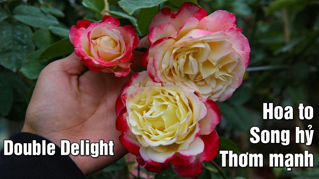 Hoa hồng song hỷ Mỹ Double Delight với hương thơm mạnh mẽ