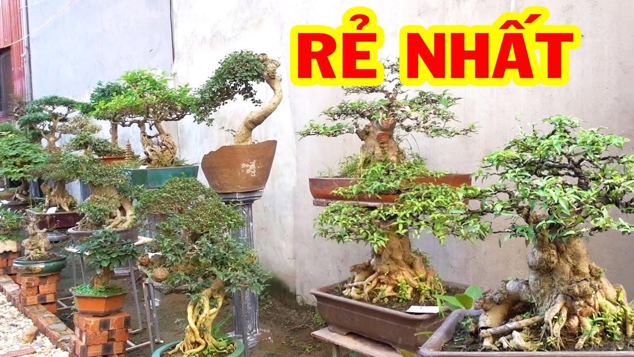 Ít tiền cũng có cây đẳng cấp để chơi - selling beautiful bonsai trees