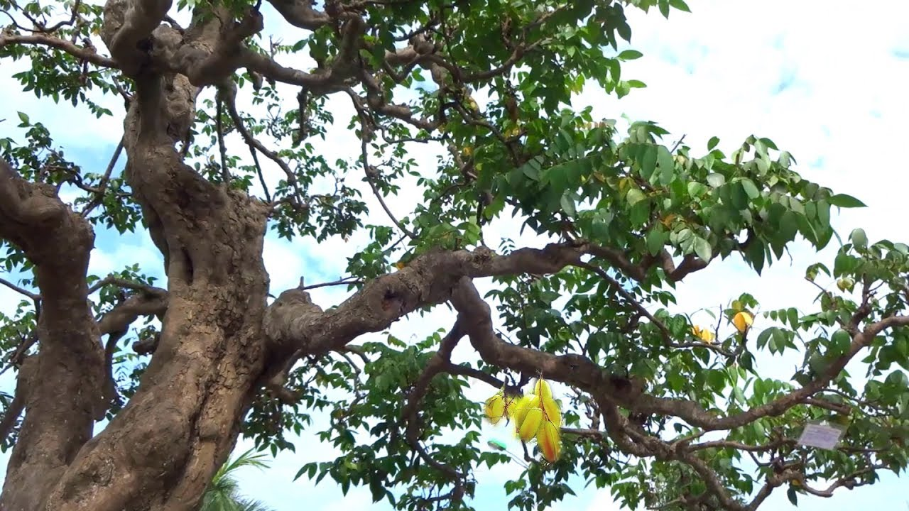 Khế cụ khủng, đẹp nhất triển lãm, cây sim đẹp quá - The most beautiful bonsai at the exhibition