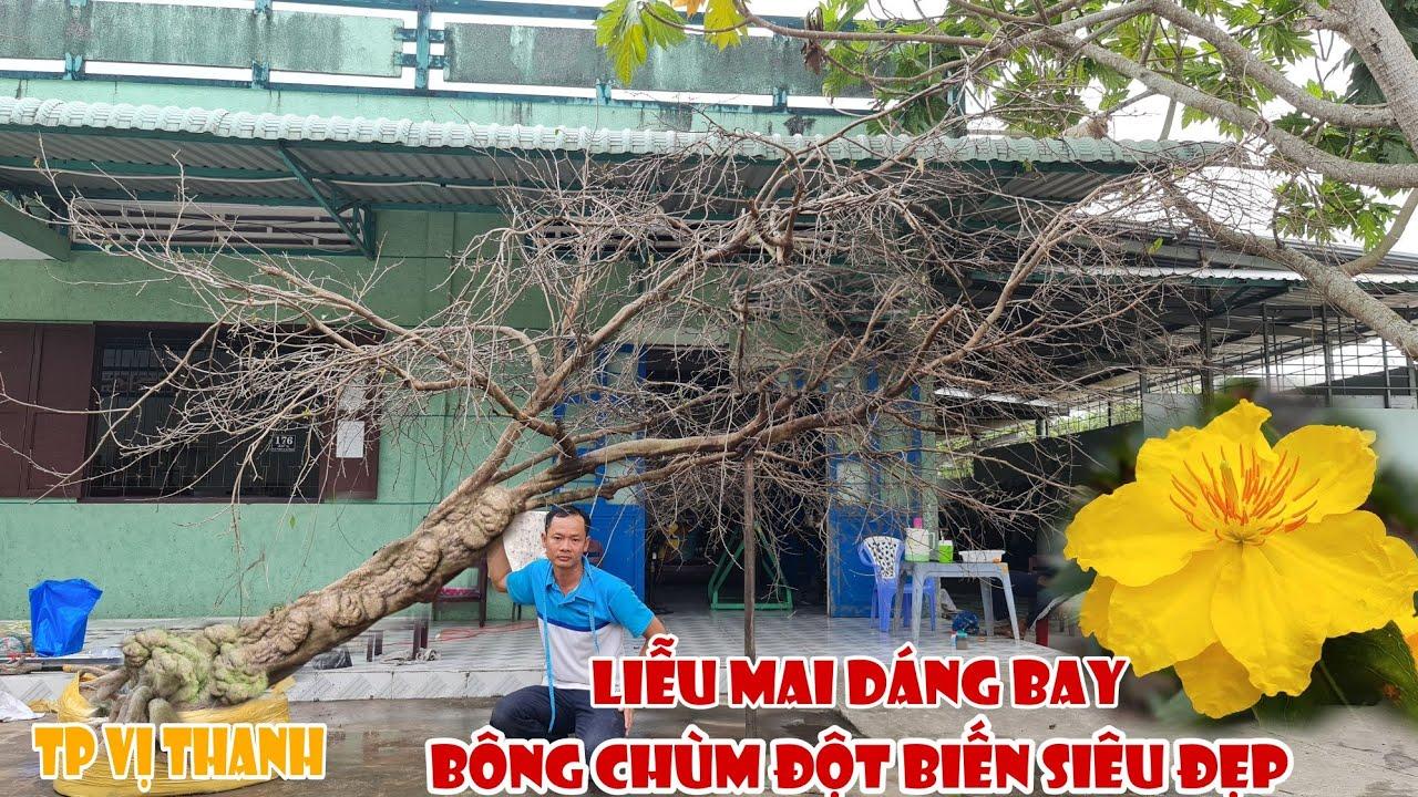 LIỄU MAI RIN DÁNG BAY siêu đẹp đón xuân 2021 giá mềm xèo 0939571999 ở Tp Vị Thanh