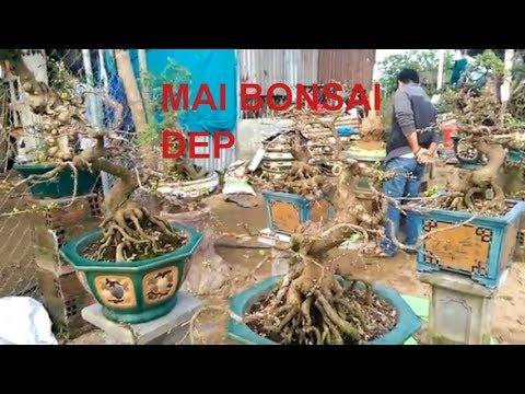 Mai Bonsai chuẩn bị chơi tết đây - Mai Bình Định