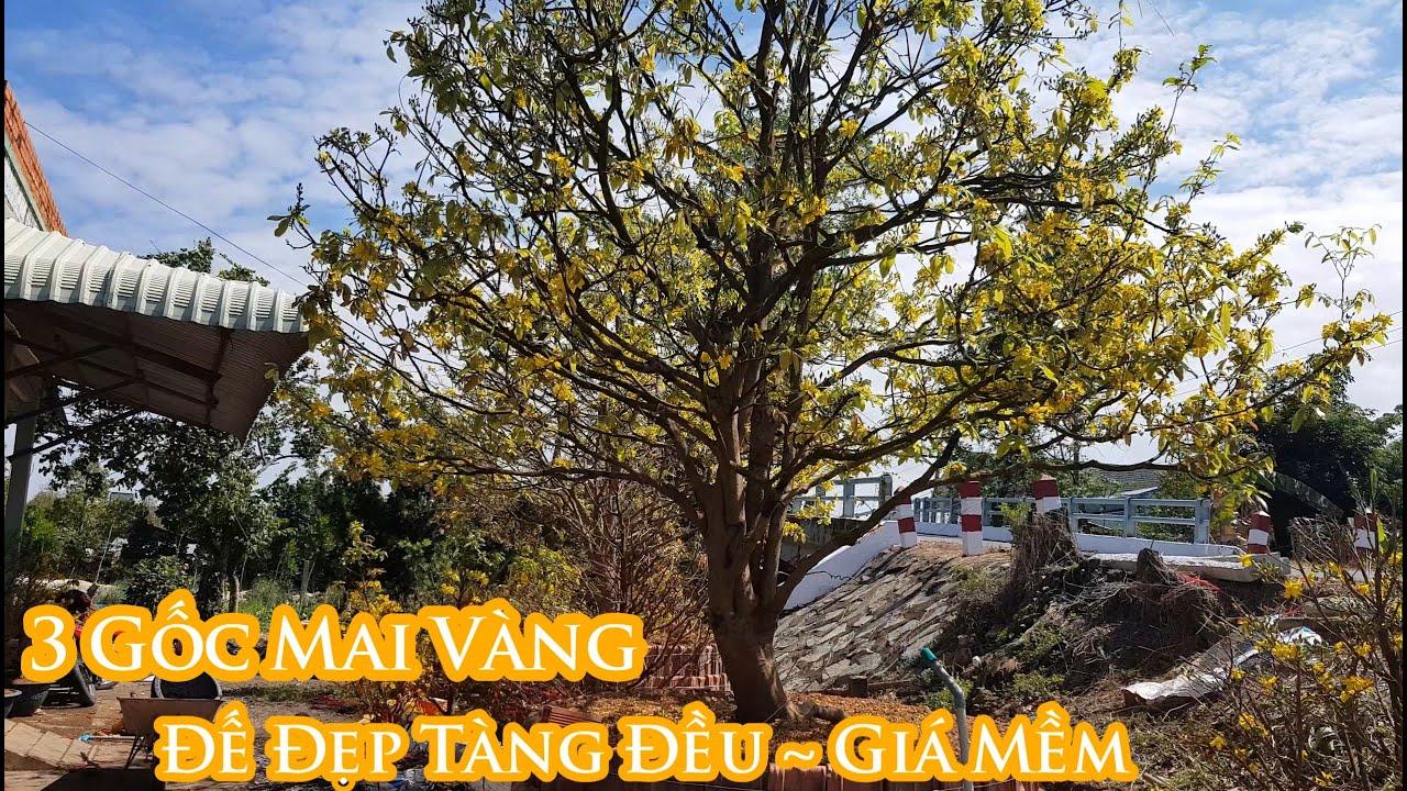Mai vàng chơi tết 2020 giá mềm tại khu vườn Anh Thái 0907118114