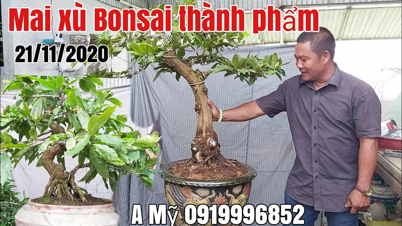 Mai xù Bonsai thành phẩm gặp A Mỹ 0919996852 Phú Tân AG