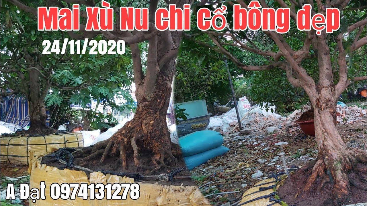 Mai xù tàng đế đẹp ,nu chi cành cổ giá hữu nghị gặp A Đạt 0974131278 Sài Gòn