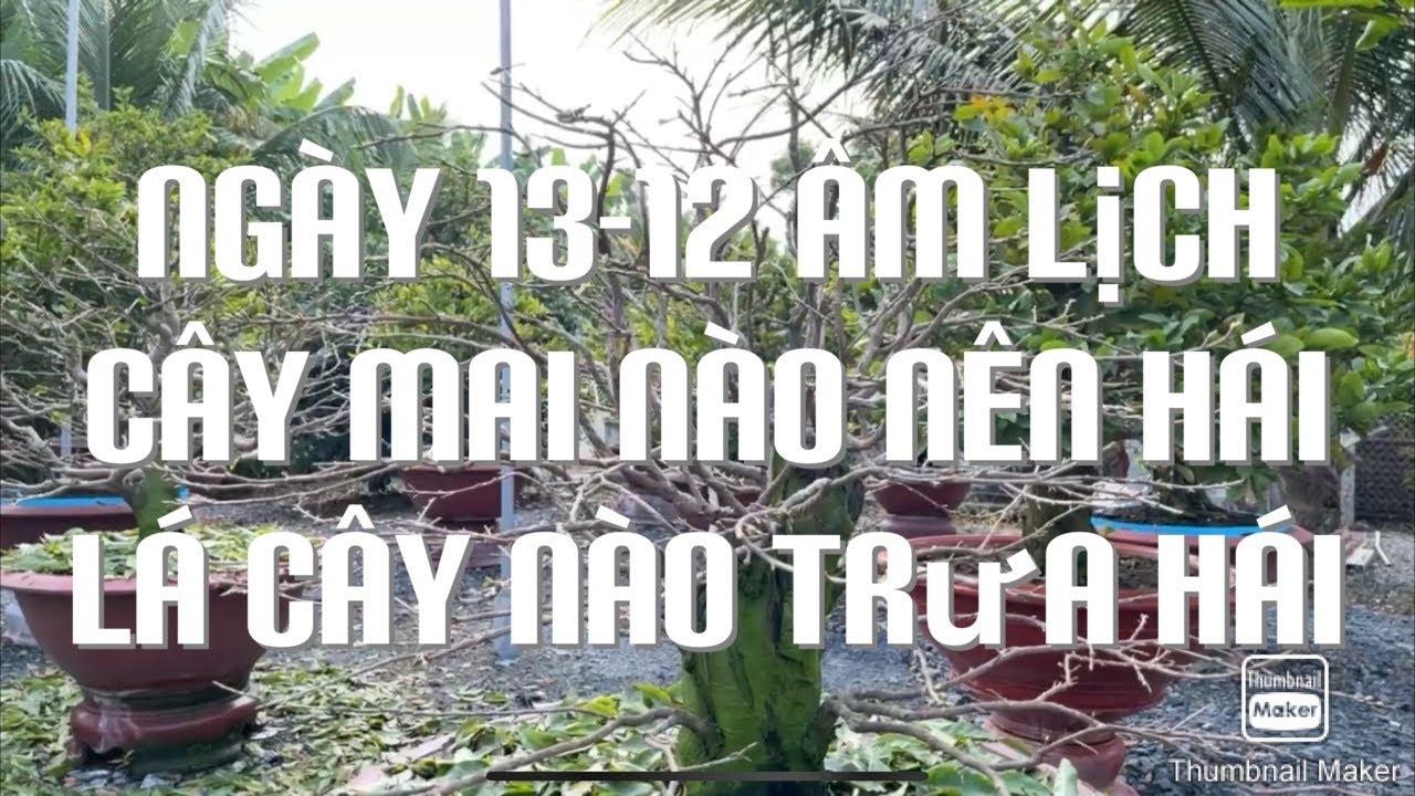 Ngày 13-12 âm lịch cây mai nào nên hái lá cây nào trưa hái 25-1-2021
