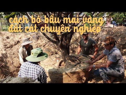 Những kỹ thuật đào bó bầu chuyên nghiệp cho cây mai vàng vùng đất cát