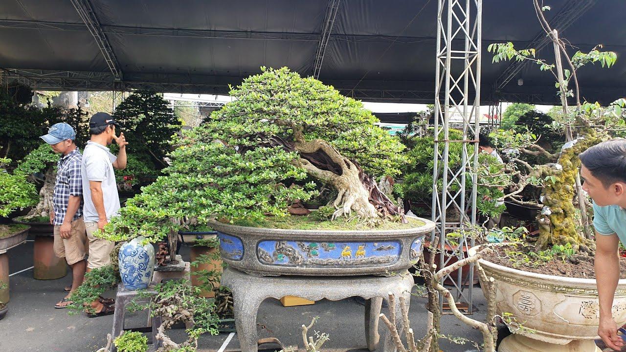 SH.3301.Cây Linh Sam đặc biệt với giá là 1 tỷ đồng tại Festival Bonsai Suối Tiên.