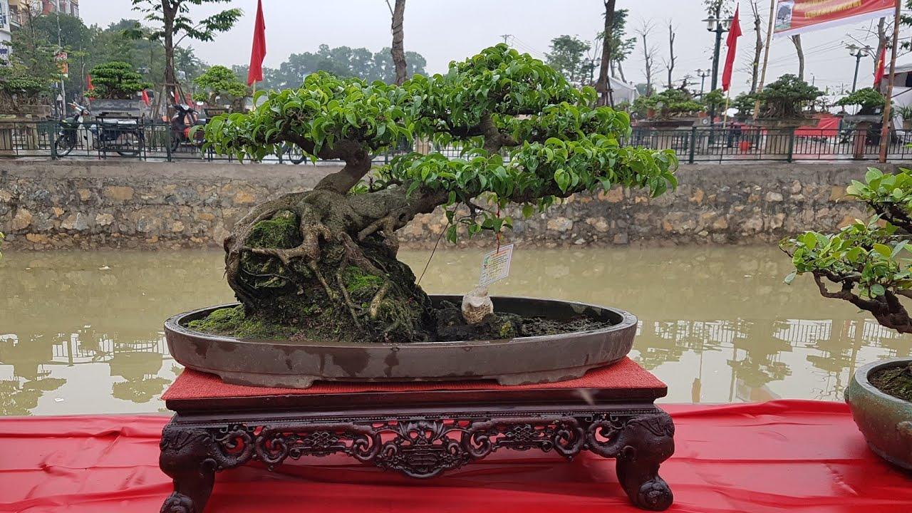 SH.3562.Cây Sanh dáng trực hoành tầm nhỏ đẹp tại triển lãm Ngô Sài. Quốc Oai.Hà Nội.