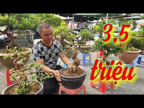 SH.4202. Cây Ổi đẹp 3,5 triệu tại chợ Sơn Tây Hà Nội.
