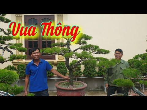 SH.4353. Vua Thông Nguyễn Hạnh chia sẻ kinh nghiệm chăm sóc cho cây Thông.Thăm vườn Thông đặc biệt.