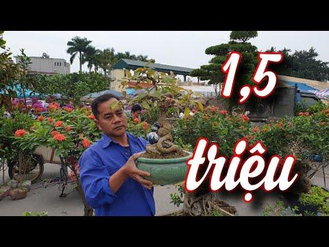 SH.4548. Cây Lộc vừng tuy nhỏ nhưng đẹp giá 1,5 triệu đồng tại chợ cây cảnh Sơn Tây Hà Nội.