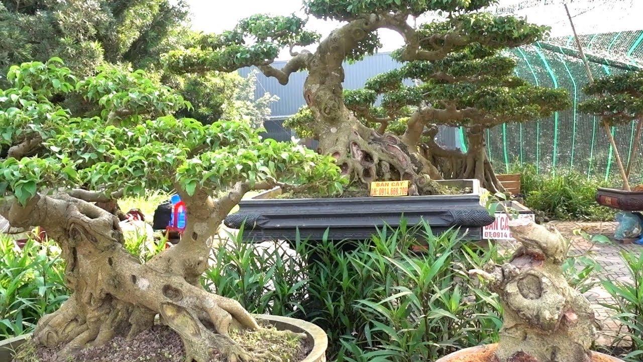Sanh Nam Điền từ phôi đến mịn giá tiền như sanh Quê - Price of bonsai tree in Long Bien
