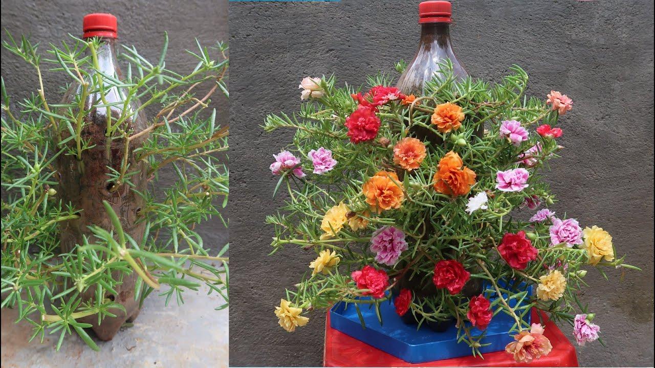 Tận dụng chai nhựa trồng hoa mười giờ đẹp ngây ngất - Grow moss rose in bottle