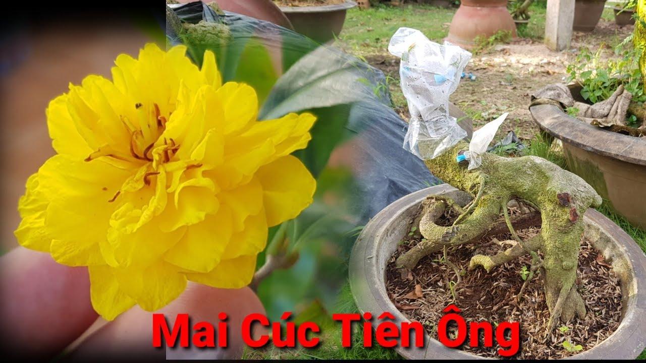 Tham Quan Vườn Mai Ghép Giống Mai Cúc Tiên Ông Ở Chợ Lách Bến Tre - 12/12/2020