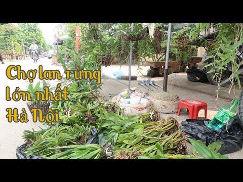 Thủ phủ lan rừng Hà Nội - Bỏ ra vài chục ngàn đã có giò lan khủng
