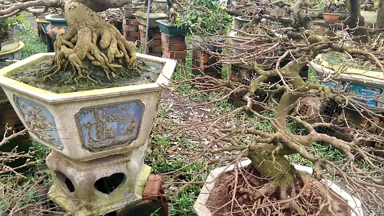 Tiếp tục tham quan vườn Mai khủng - Bonsai Binh Dinh