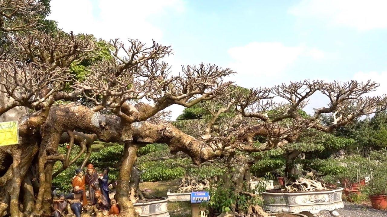 Từ cây phôi đến cây mịn của anh Tuấn đều là cây đẳng cấp - beautiful bonsai of  Mr Tuan: