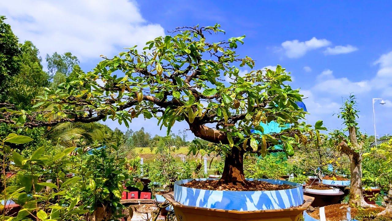 Tuyệt phẩm gốc bonsai Mai cúc dáng bay cực đẹp có đủ sức để dự thi hội mai đẹp hay không ?