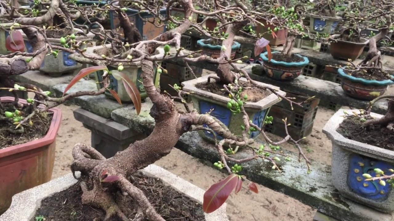Vườn Mai bonsai đẳng cấp