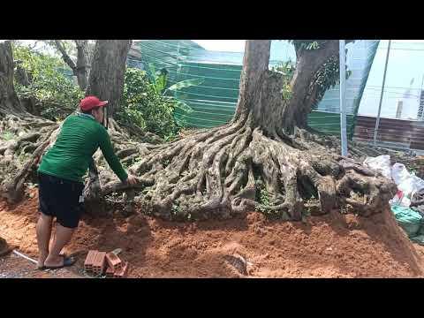 Vườn cây phôi khủng - Phôi cây vú sữa độc nhất vô nhị tại Việt Nam.