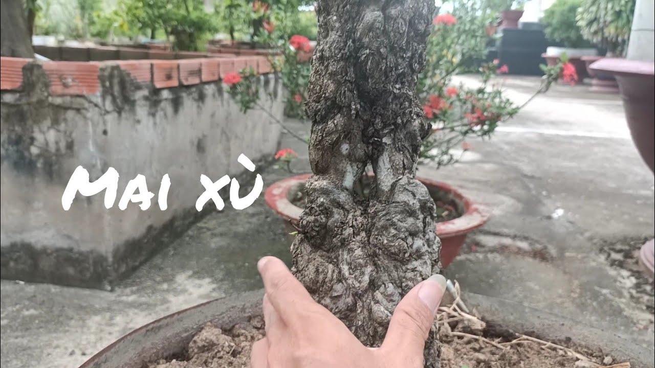 Vườn mai vàng tiền tỷ ở U Minh Cà Mau - Phần 2 - cây Mai xù .