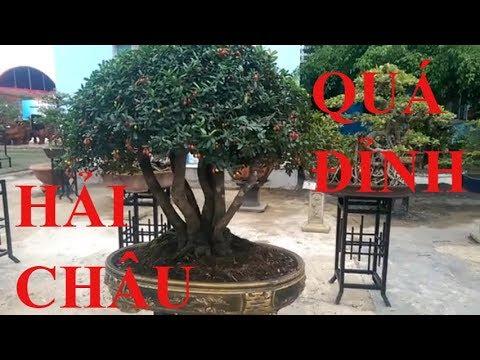 Xem Cây Hải Châu Tuyệt Đẹp Bonsai Binh Dinh